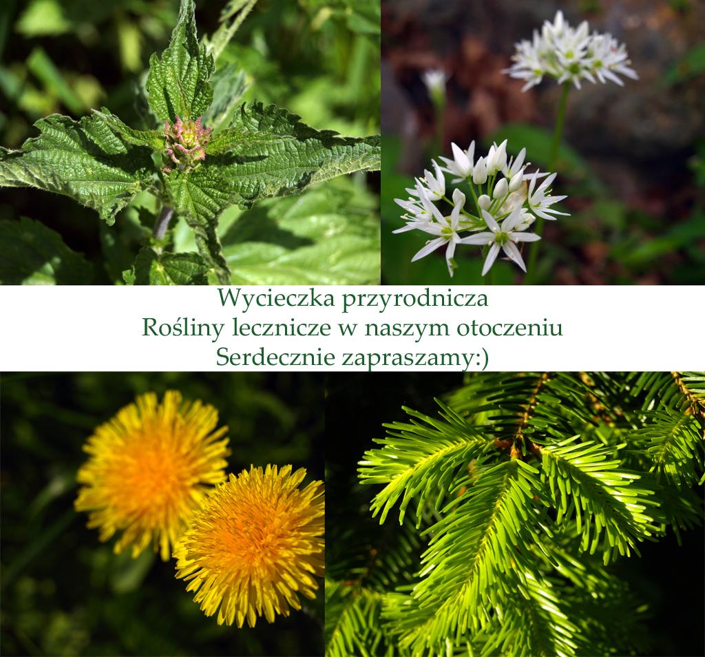 Wycieczka przyrodnicza Rosliny lecznicze wnaszym otoczeniu