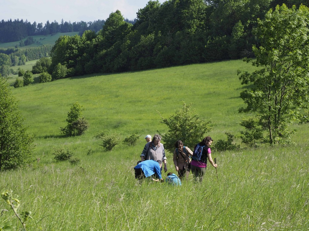 Łąki na Przełęczy Widok są siedliskiem storczyka męskiego.