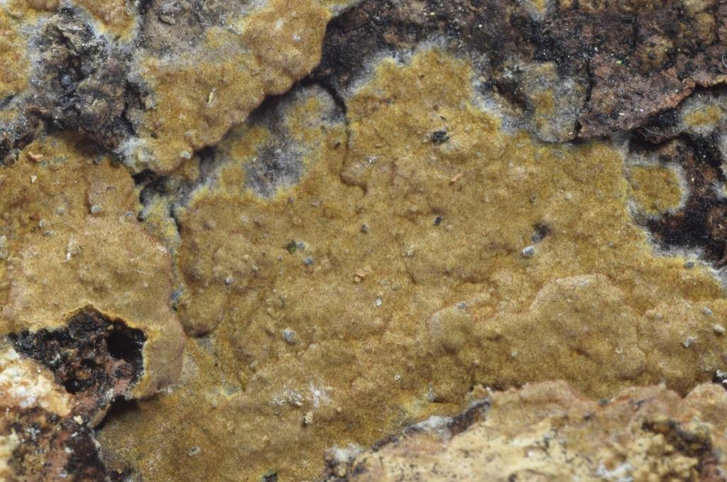 Hymenochaete carpatica
