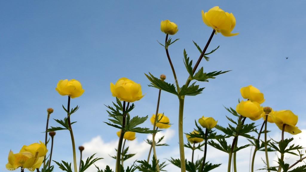 Pełnik europejski w pełni kwitnienia.
