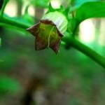Pokrzyk wilcza jagoda- piękna i niebezpieczna