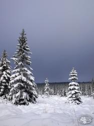 Zimowe świerki w Izerach (11).jpg